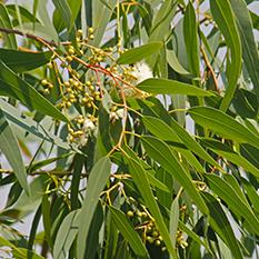 lemon eucalytpus